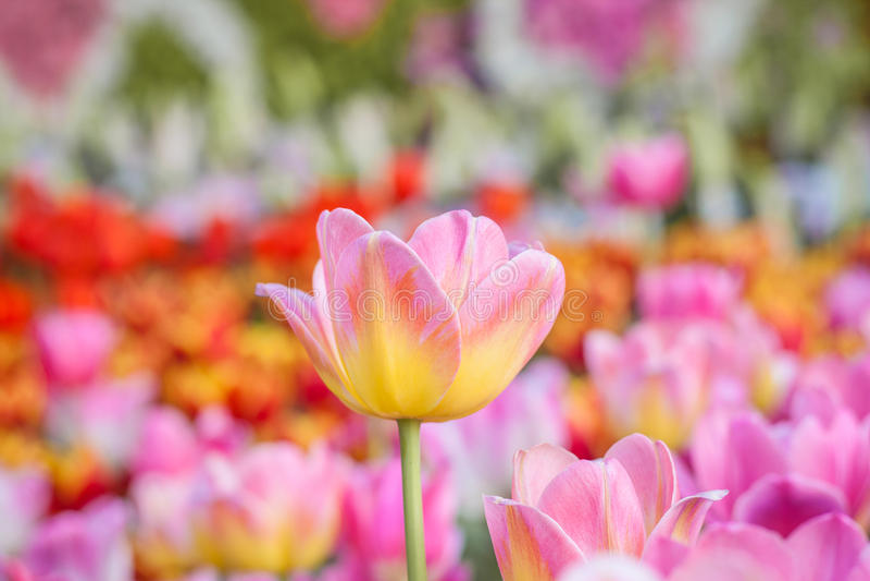 Kleurrijke tulp in de tuin royalty-vrije stock fotografie