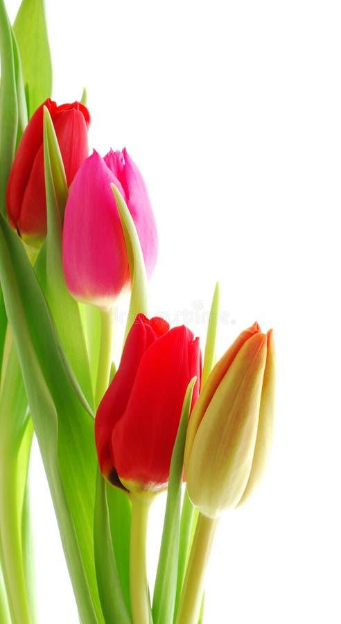 Kleurrijke tulpen royalty-vrije stock foto's