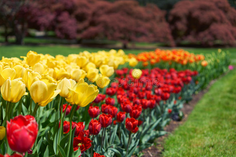 Kleurrijke tulpen royalty-vrije stock fotografie