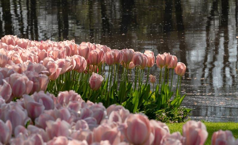 Kleurrijke tulpen die bij Keukenhof-Tuinen, Lisse, Zuid-Holland worden opgemaakt Keukenhof is genoemd geworden Tuin van Europa stock foto