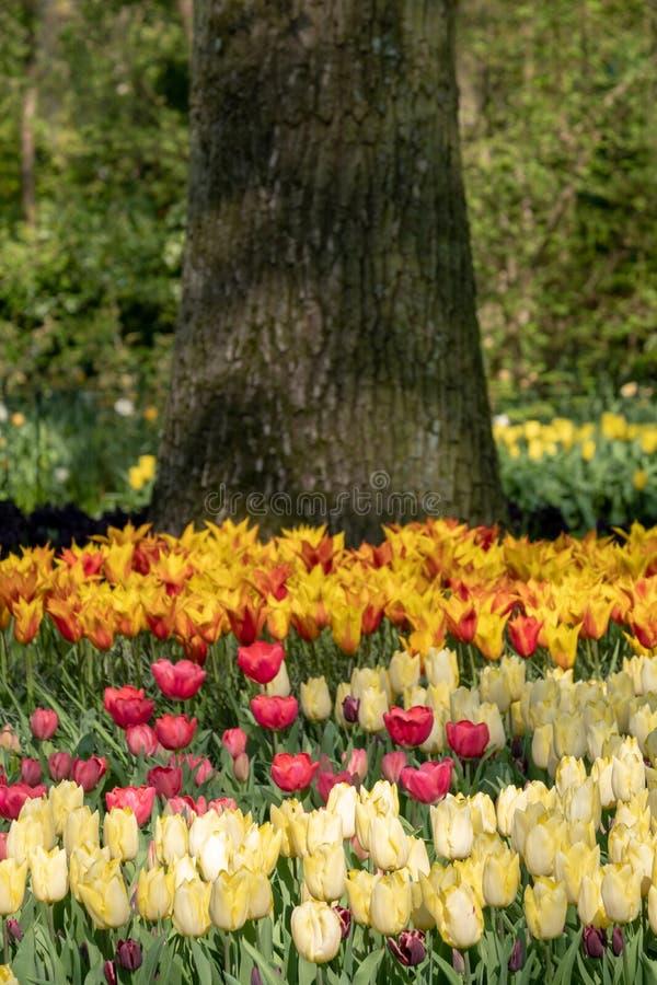 Kleurrijke tulpen die bij Keukenhof-Tuinen, Lisse, Zuid-Holland worden opgemaakt Keukenhof is genoemd geworden Tuin van Europa stock afbeeldingen