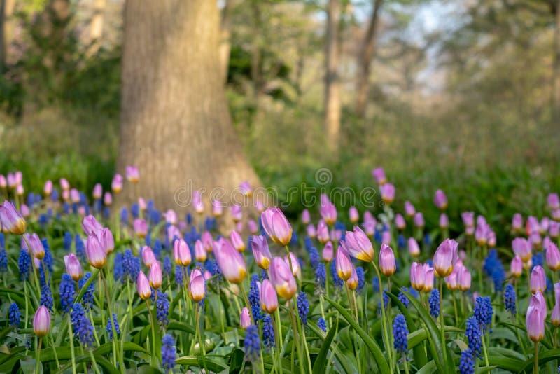 Kleurrijke tulpen die bij Keukenhof-Tuinen, Lisse, Zuid-Holland worden opgemaakt Keukenhof is genoemd geworden Tuin van Europa royalty-vrije stock fotografie