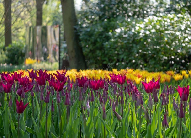 Kleurrijke tulpen die bij Keukenhof-Tuinen, Lisse, Zuid-Holland worden opgemaakt Keukenhof is genoemd geworden Tuin van Europa royalty-vrije stock afbeeldingen