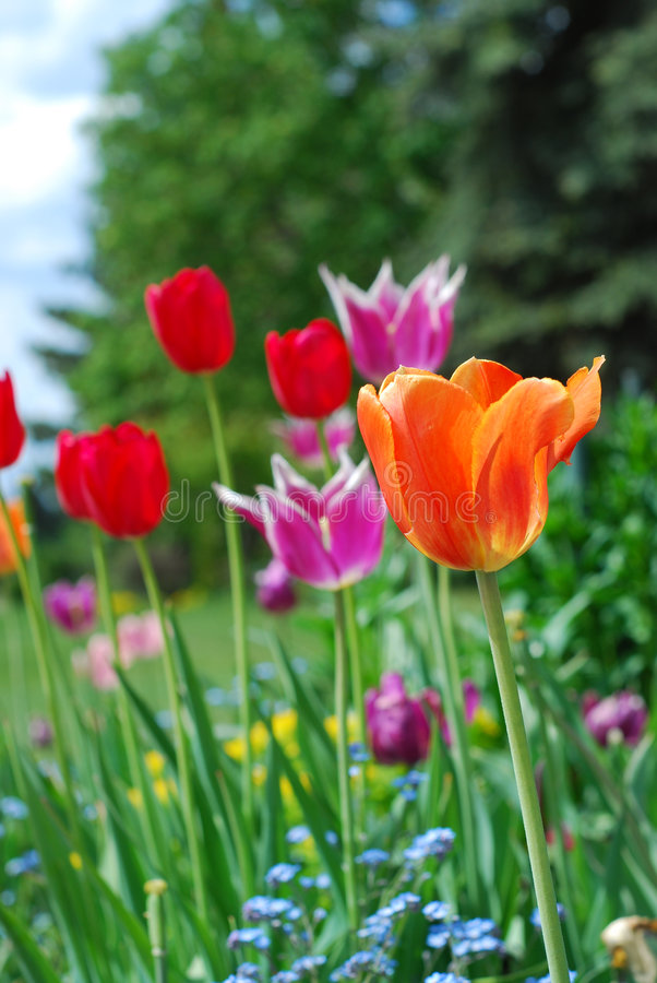 Kleurrijke Tulpen in Tuin royalty-vrije stock foto