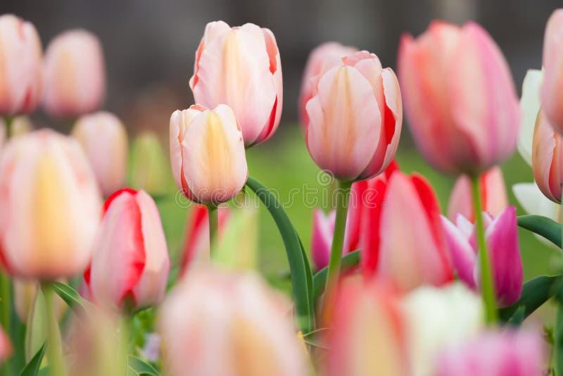 Kleurrijke tulpenbloem, Tulpenbloem en groene bladeren stock afbeeldingen