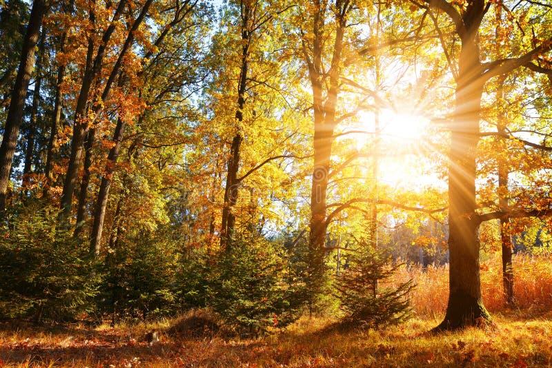 Kleurrijke vergankelijke boom in de herfstbos stock afbeelding