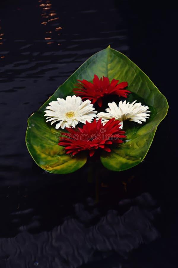 Kleurrijke verse gerberabloemen die op koeler donker water drijven royalty-vrije stock foto's