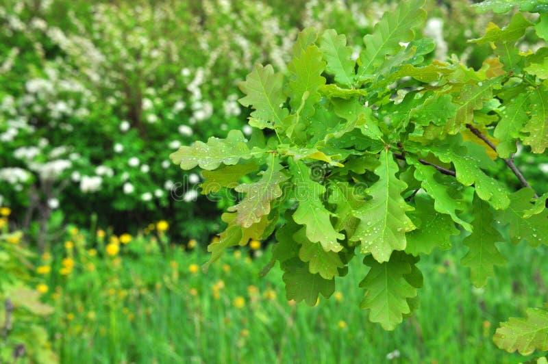 Kleurrijke verse groene natte tak van een jonge eik met regendalingen op bladerenclose-up stock fotografie