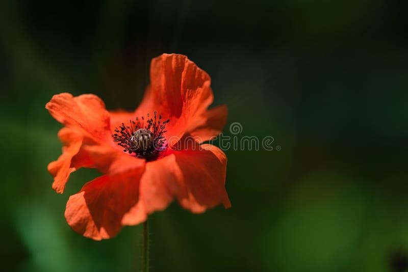 Kleurrijke verse Oranje Poppy Flower in de wind op een groene de lenteweide royalty-vrije stock afbeelding