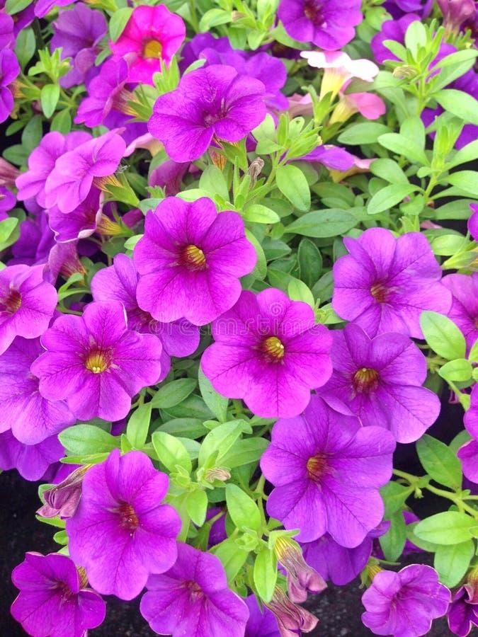 Kleurrijke vertoning van de purpere miljoen bloemen van de klokkenpetunia stock foto