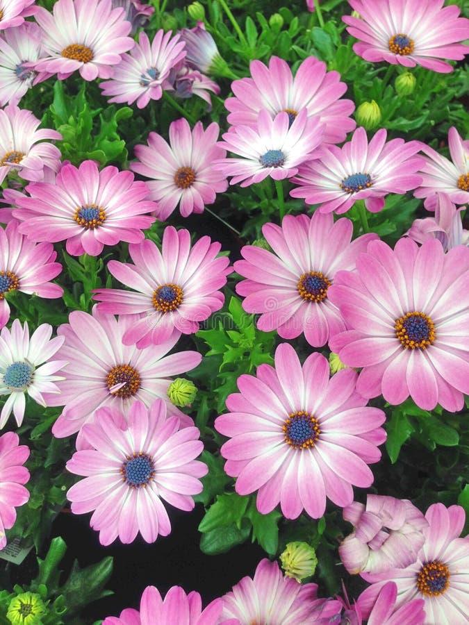 Kleurrijke vertoning van het madeliefjebloemen van de kaapmargriet royalty-vrije stock foto's