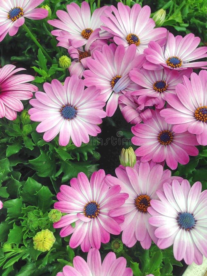 Kleurrijke vertoning van het madeliefjebloemen van de kaapmargriet royalty-vrije stock fotografie