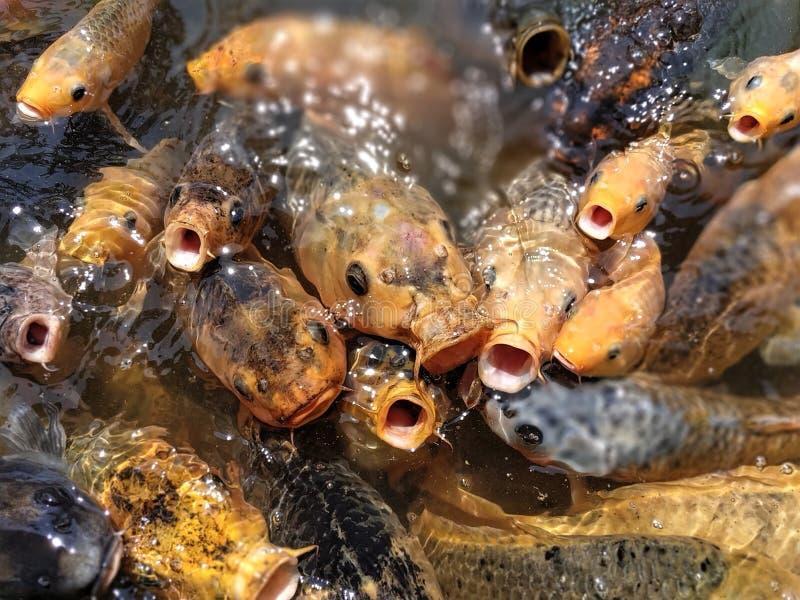 Kleurrijke vissen bij de vijver in het voeden waanzin royalty-vrije stock fotografie