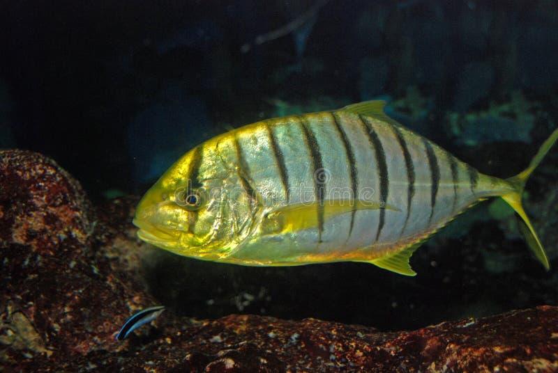 Kleurrijke vissen die binnen het aquarium zwemmen stock afbeeldingen