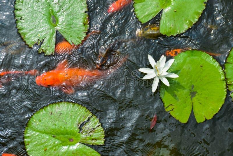 Kleurrijke vissen in een lotusbloemvijver royalty-vrije stock afbeeldingen