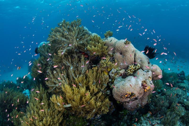 Kleurrijke Vissen en Koralen in Papoea-Nieuw-Guinea stock fotografie