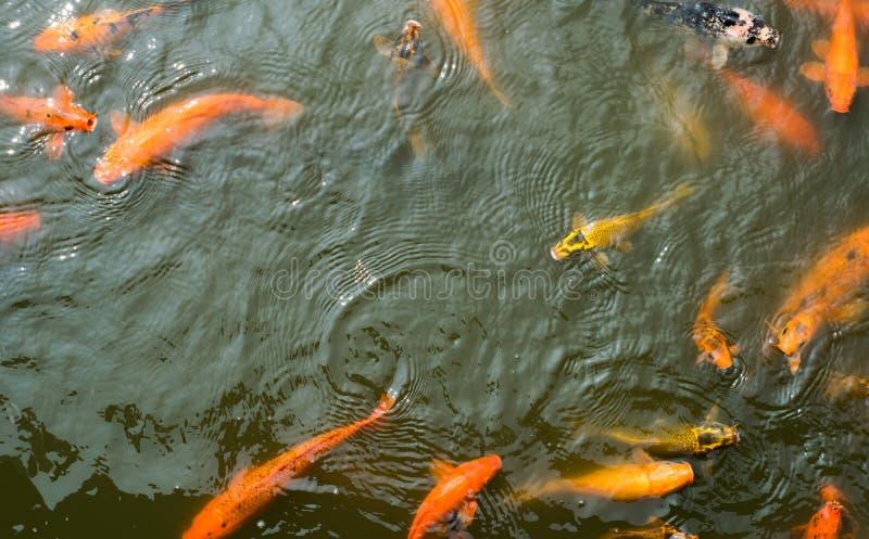 Kleurrijke vissenvijver royalty-vrije stock foto's