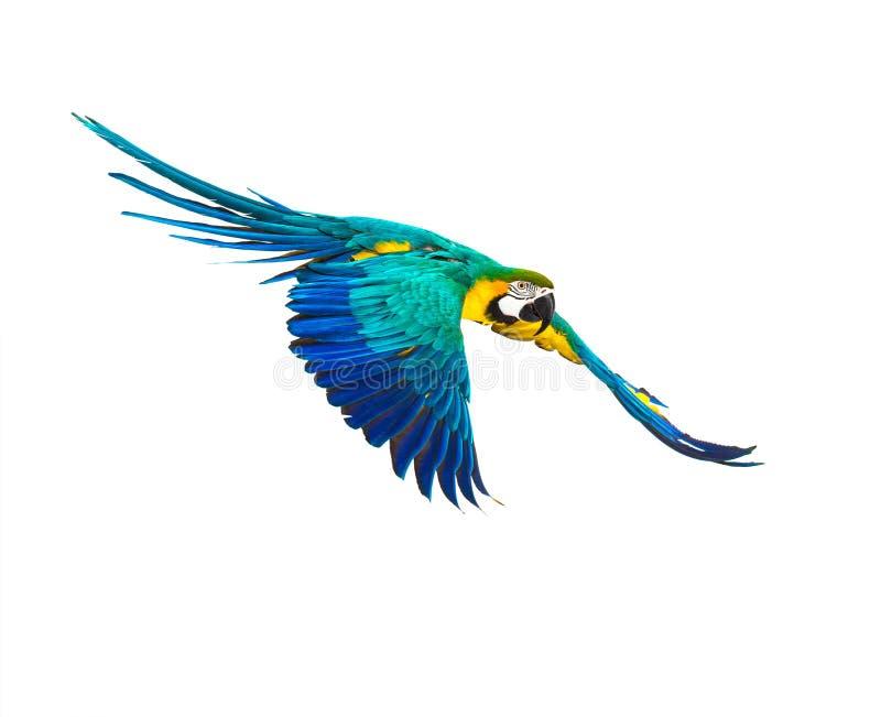 Kleurrijke vliegende papegaai stock afbeeldingen