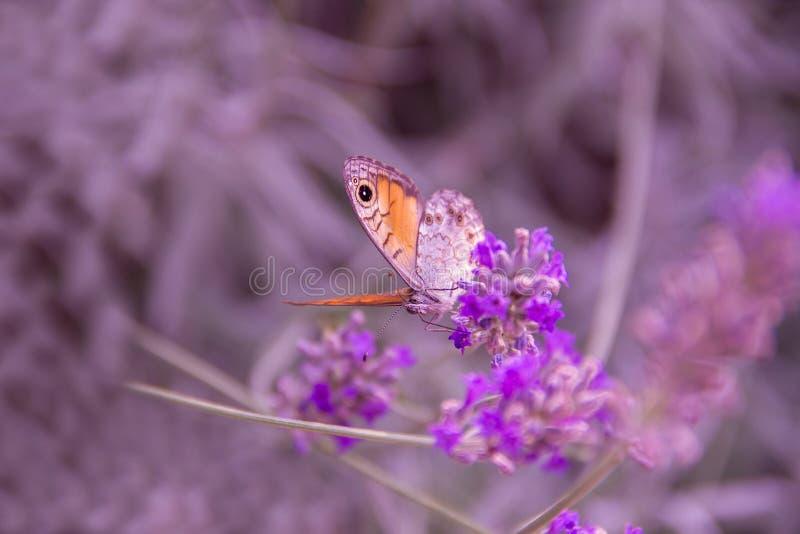 Kleurrijke vlinder op een lavendelbloem royalty-vrije stock afbeeldingen