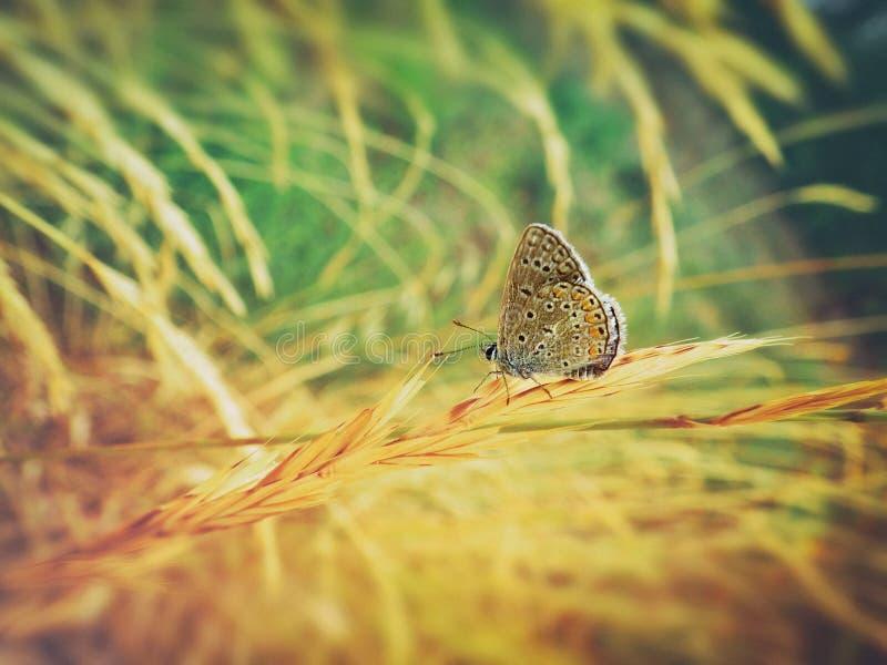 Kleurrijke vlinder op tarwe stock fotografie