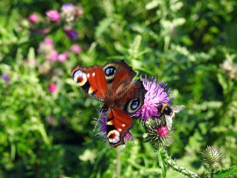 Kleurrijke vlinder op wilde bloem, Litouwen royalty-vrije stock foto's