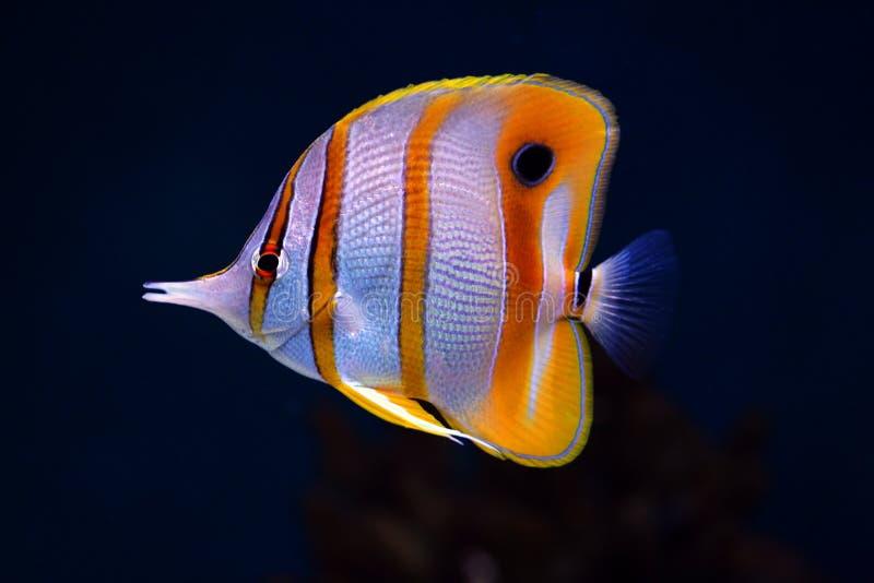 Kleurrijke vlinder-vissen Sixspine stock fotografie