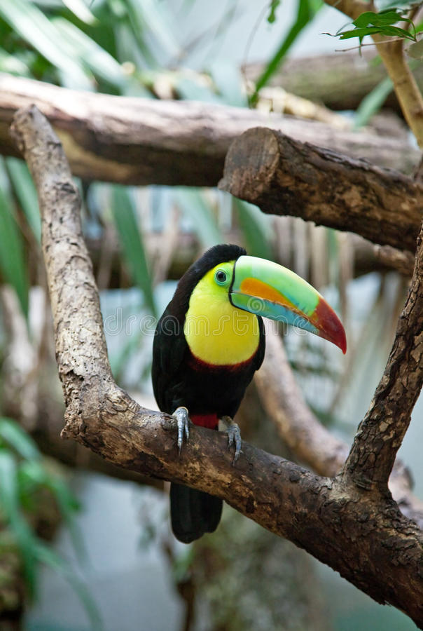 Kleurrijke vogel Tucan royalty-vrije stock afbeelding