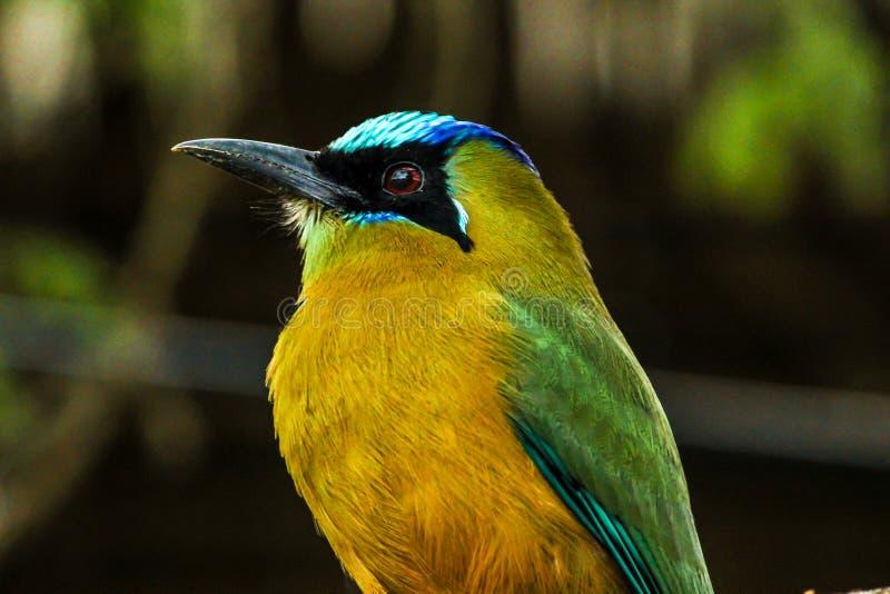 Kleurrijke vogel van het Ecuatoriaanse regenwoud stock afbeelding