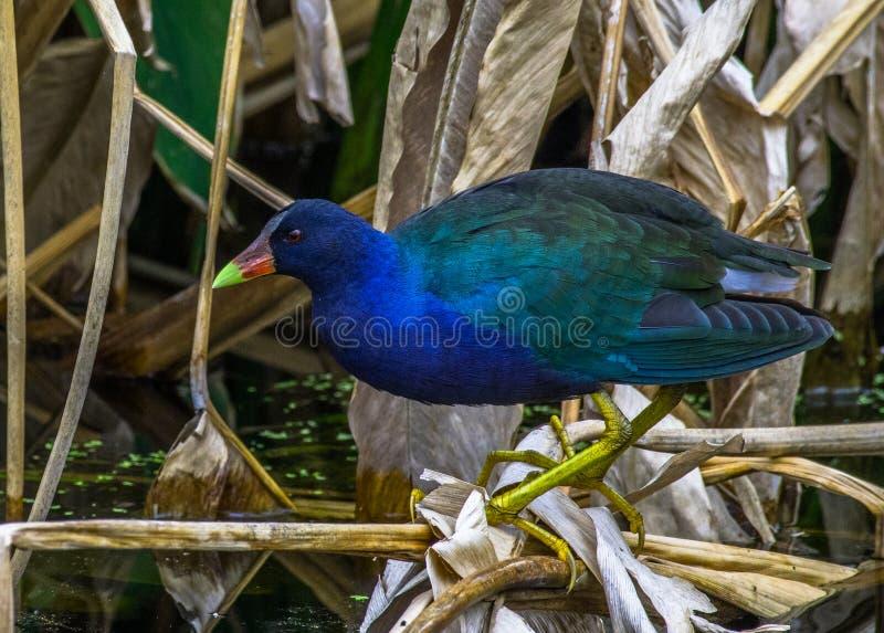 Kleurrijke vogel van het Moerasland van Florida royalty-vrije stock foto