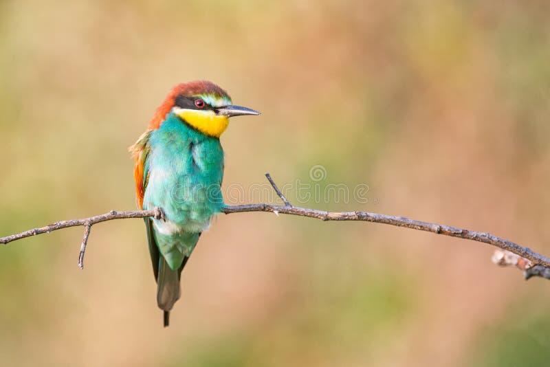 Kleurrijke vogels - de Europese bij-eter zitting van Merops apiaster op een stok stock fotografie