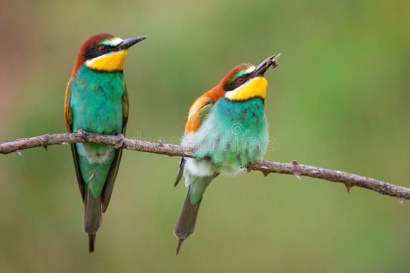Kleurrijke vogels - de Europese bij-eter zitting van Merops apiaster op een stok stock afbeelding