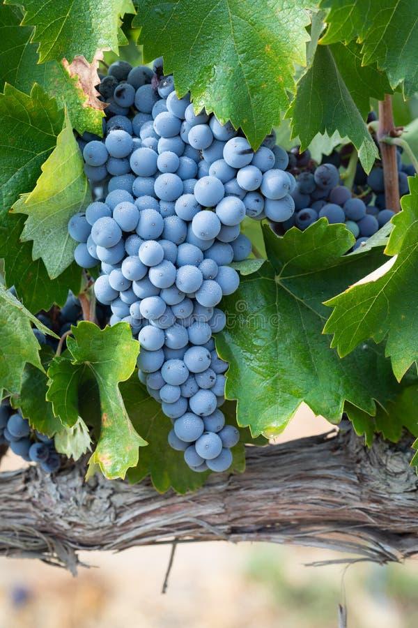 Kleurrijke Weelderige, Rijpe Wijndruiven op de Wijnstok Klaar voor Oogst royalty-vrije stock afbeelding