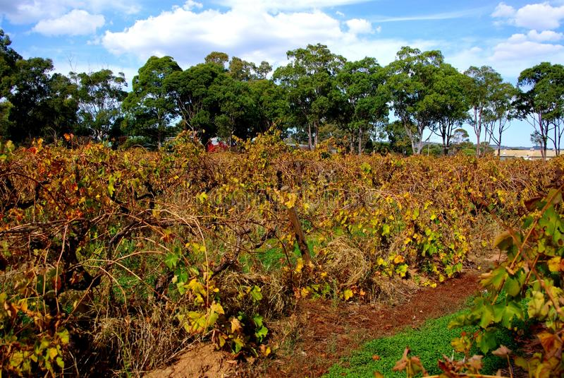 Kleurrijke Wijnstokken, Dal McLaren stock foto's