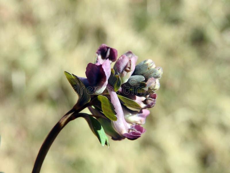 Kleurrijke wilde bloem in weide, Litouwen stock fotografie