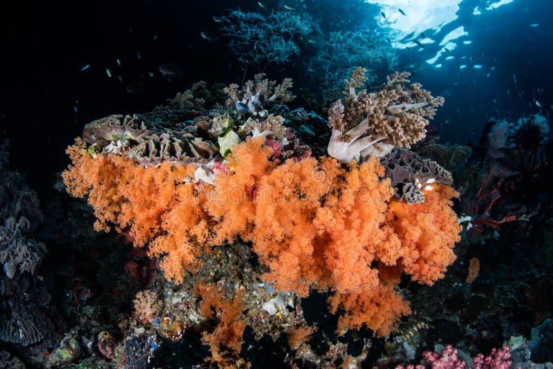 Kleurrijke Zachte Koralen die in de Tropische Stille Oceaan groeien royalty-vrije stock afbeelding