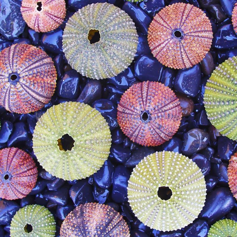 Kleurrijke zeeëgels op zwart kiezelstenenstrand royalty-vrije stock afbeelding