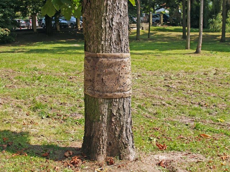 Klibbigt bälte för att samla av kryp på en trädstam royaltyfri fotografi