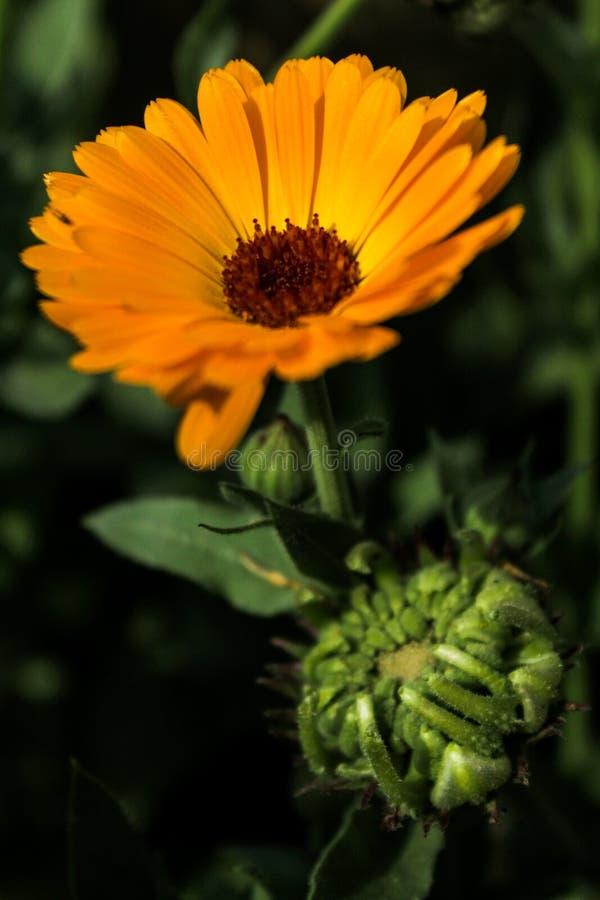 Klikałem mnie ponieważ polubiłem jak ono patrzał i lubię klikać kwiat fotografie zdjęcie stock