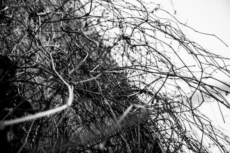 Klimop in de winter royalty-vrije stock afbeelding