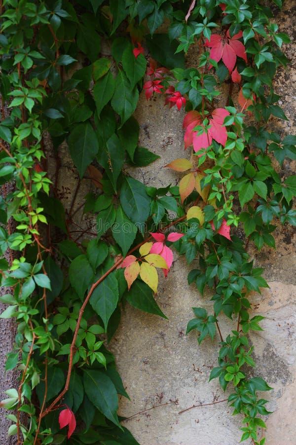 Klimop die een muur groeien stock foto