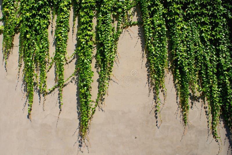 Klimop die - ooit groene installaties op de muur beklimmen stock fotografie