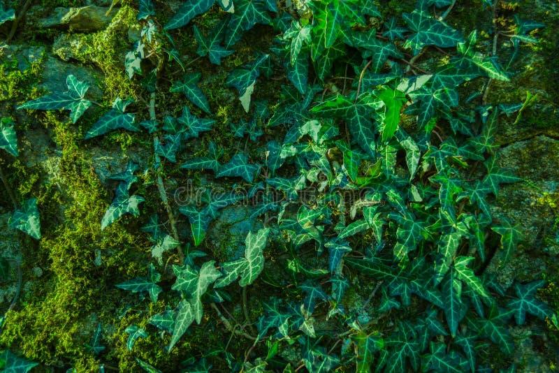 Klimop en mos op een steenmuur stock foto