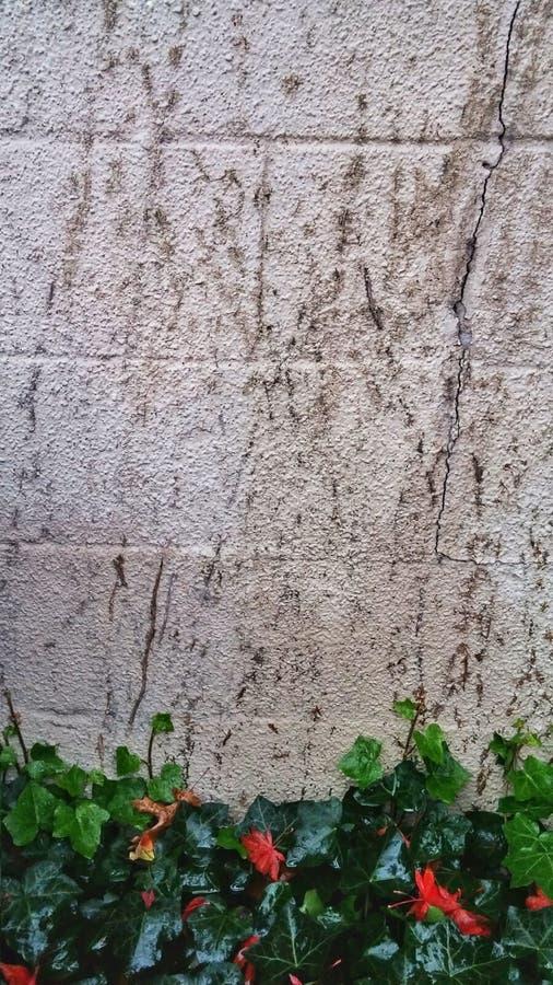 Klimop het groeien op witte muur royalty-vrije stock afbeeldingen