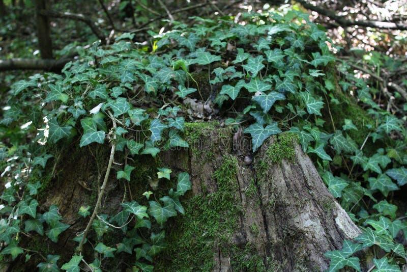Klimop op een boom stock afbeeldingen