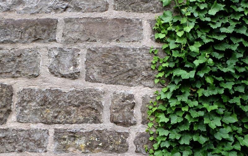 Klimop op een steenmuur stock foto's