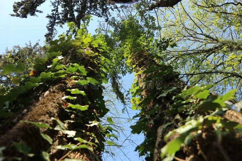 Klimop, romantisch iets, fotografie met aard, bomen royalty-vrije stock foto's