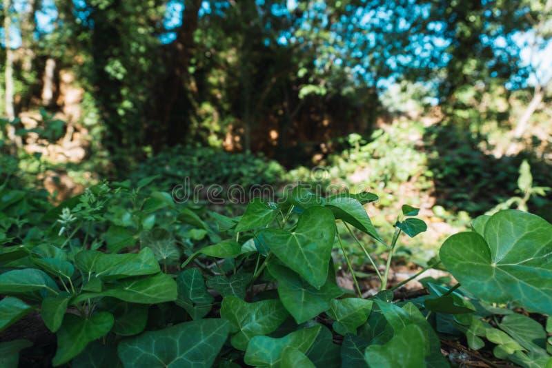 Klimopachtergrond die de bosvloer behandelen stock afbeeldingen