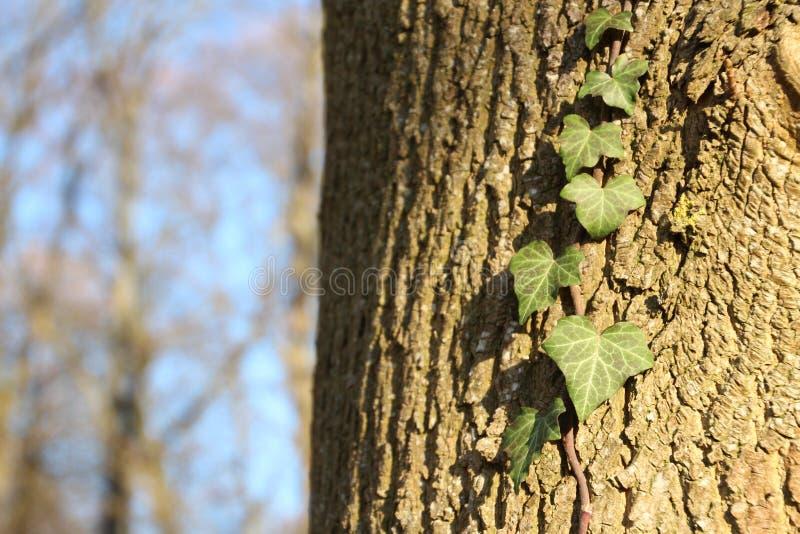 Klimopbladeren op een boomschors stock foto's