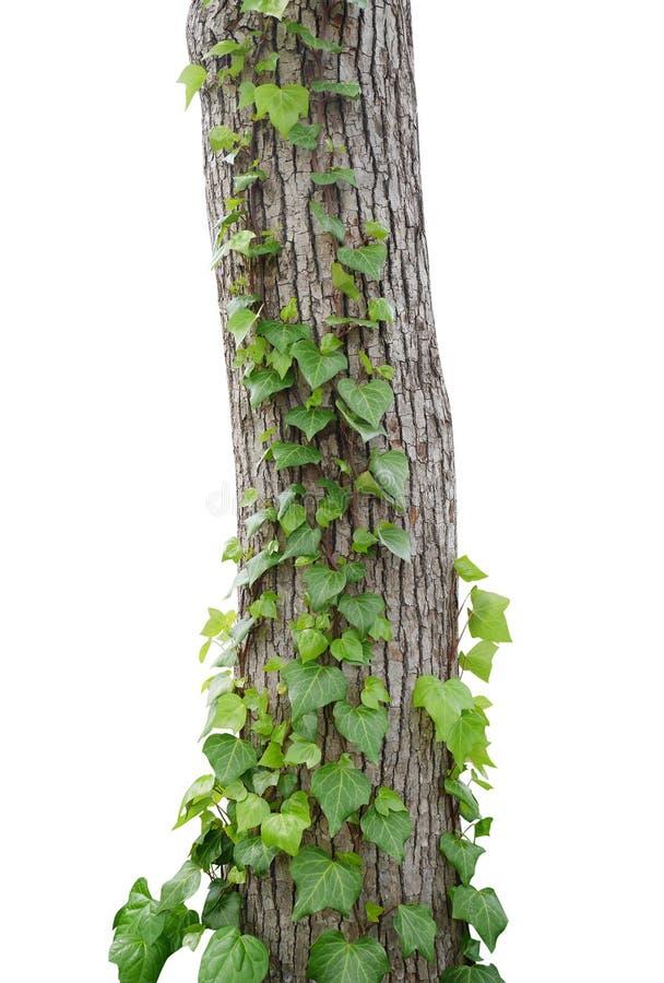 Klimopwijnstokken die die boomboomstam beklimmen op witte achtergrond, klem wordt geïsoleerd stock fotografie
