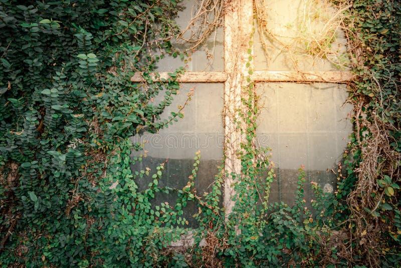 Klimplant het groeien op antiek muur en venster stock foto's